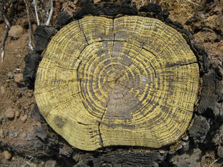 Der Baumstumpf